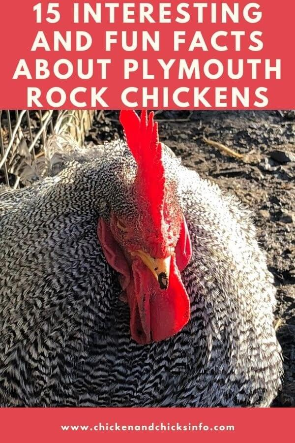 Facts About Plymouth Rock Chickens