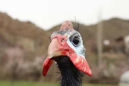 How Long Do Guinea Fowl Live