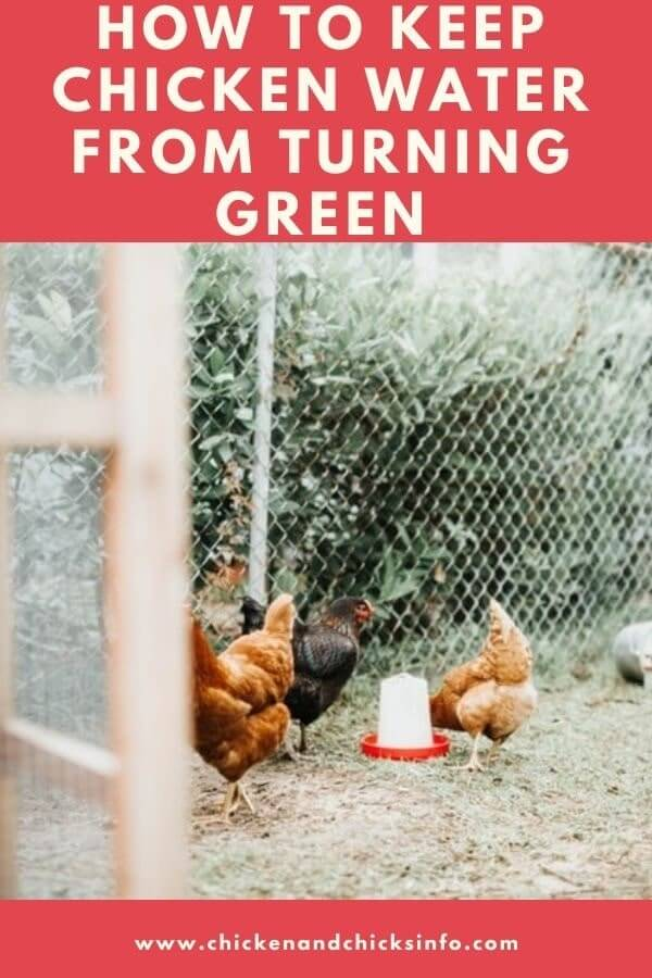 How to Keep Chicken Water From Turning Green