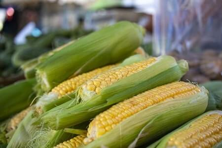 Is It True Corn Is a Warming Food for Chickens