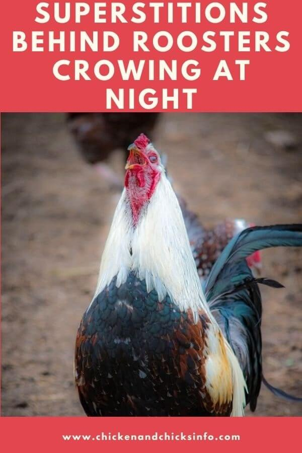 Rooster Crowing at Night Superstition