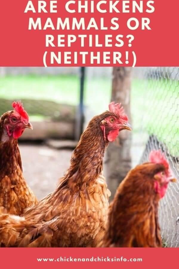 Are Chickens Mammals or Reptiles