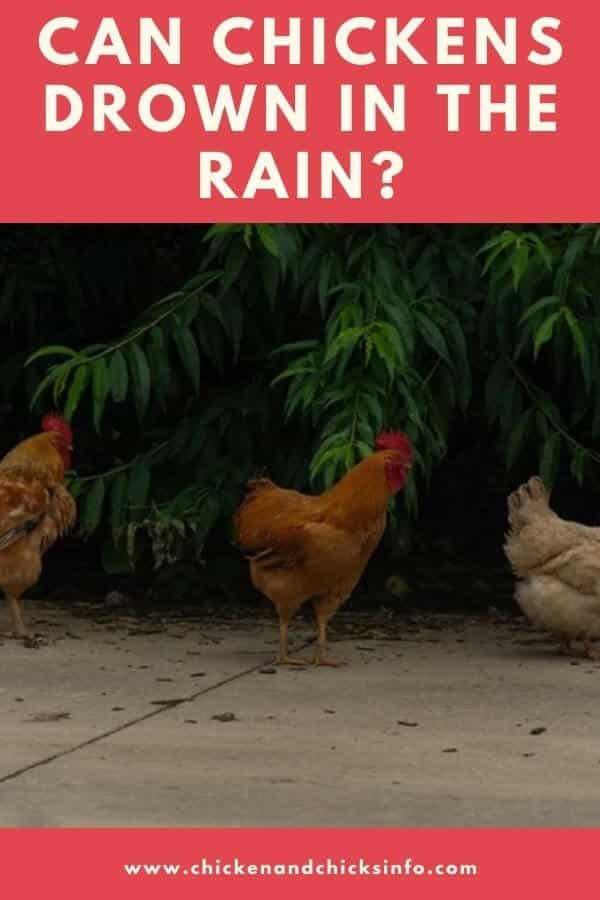 Can Chickens Drown in the Rain