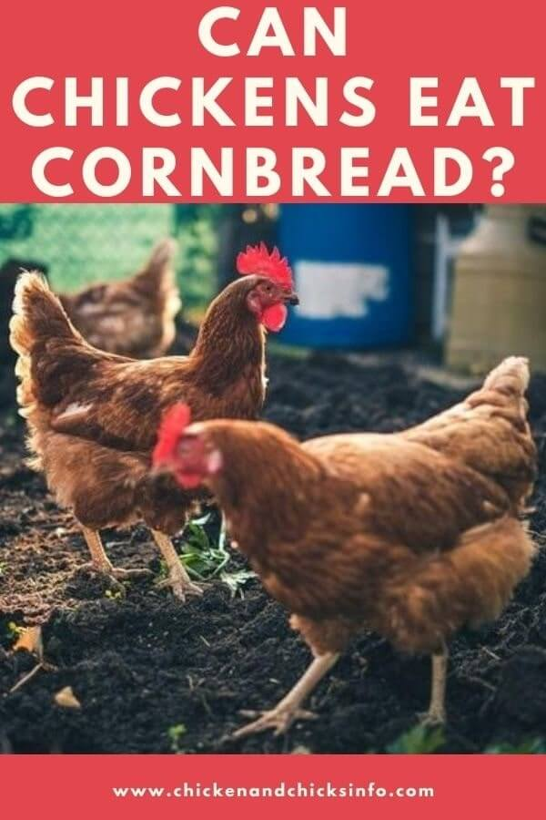 Can Chickens Eat Cornbread