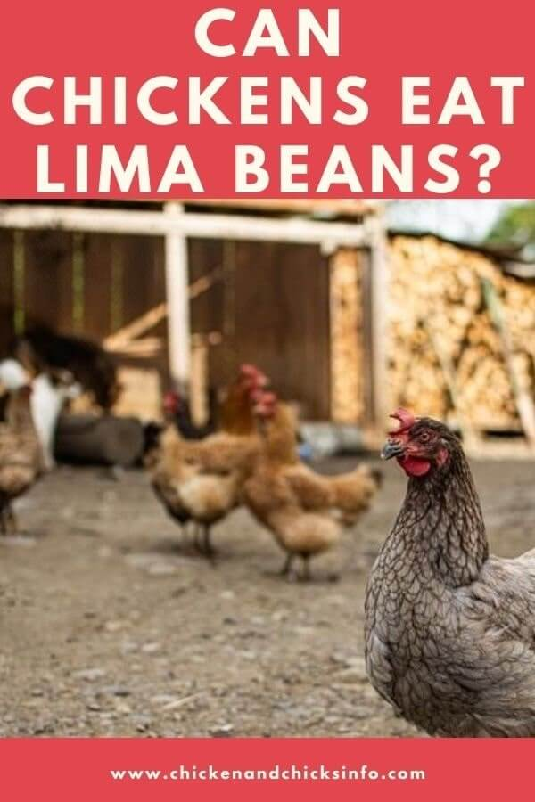 Can Chickens Eat Lima Beans
