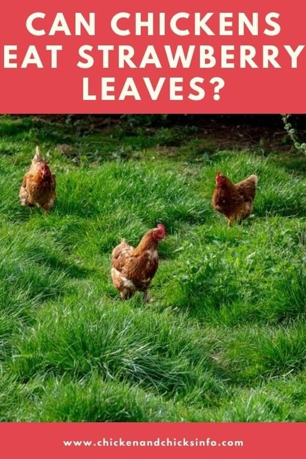 Can Chickens Eat Strawberry Leaves