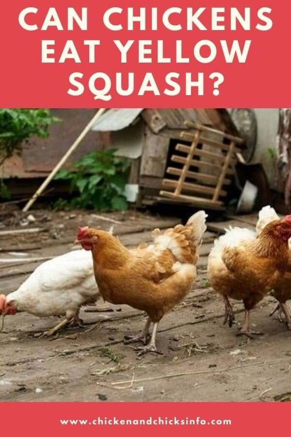 Can Chickens Eat Yellow Squash