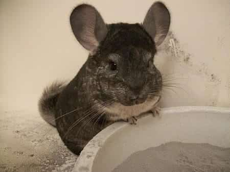 Can I Use Chinchilla Dust for My Chickens