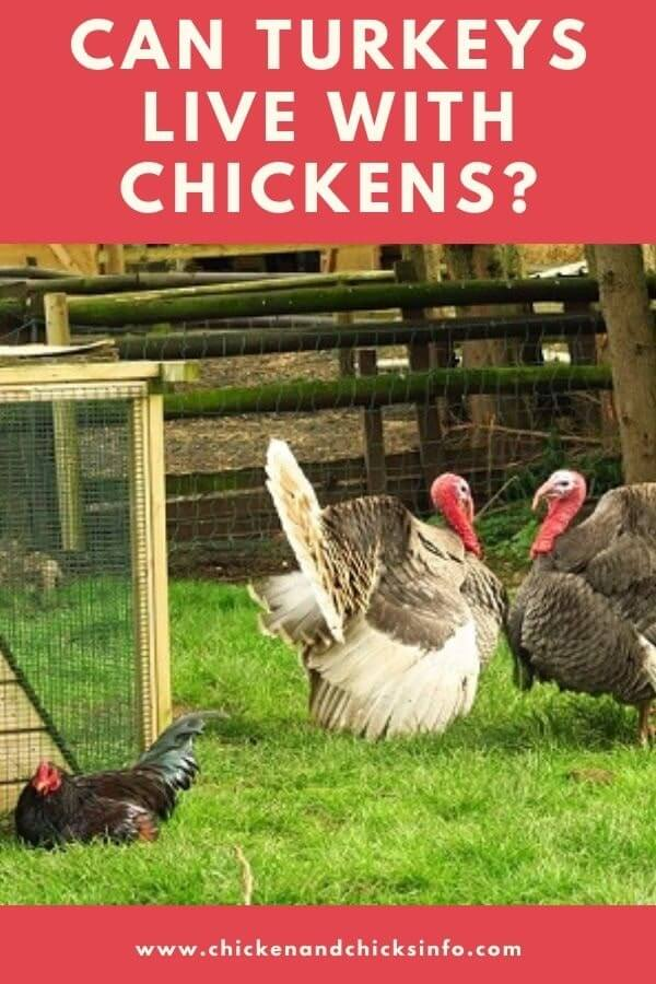 Can Turkeys and Chickens Eat the Same Food