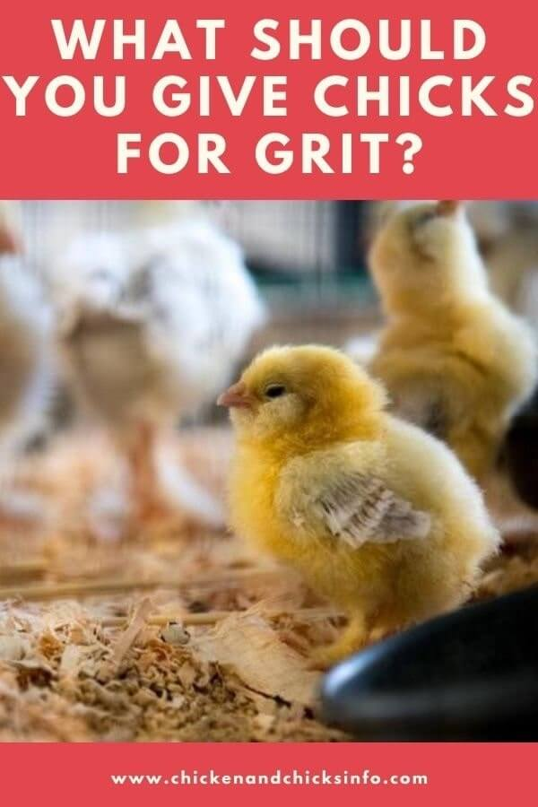 Chick Grit Substitute
