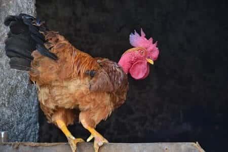 Chicken with injured bumblefoot