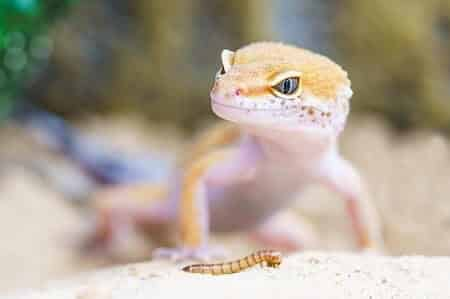 Chickens and Reptiles Have an Egg Tooth