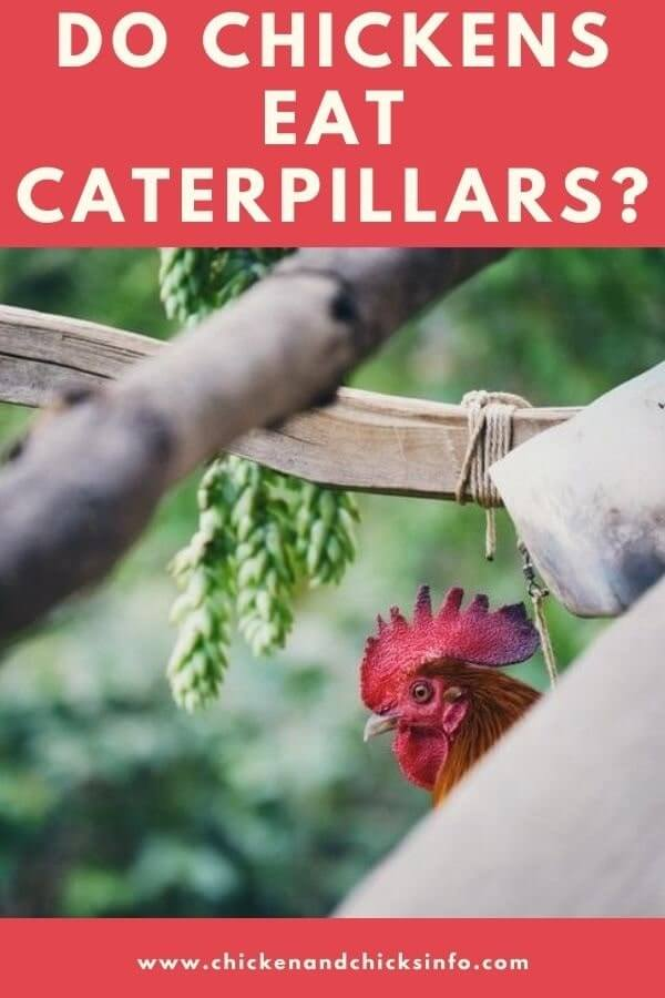 Do Chickens Eat Caterpillars