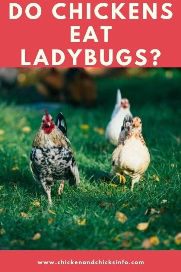 Do Chickens Eat Ladybugs