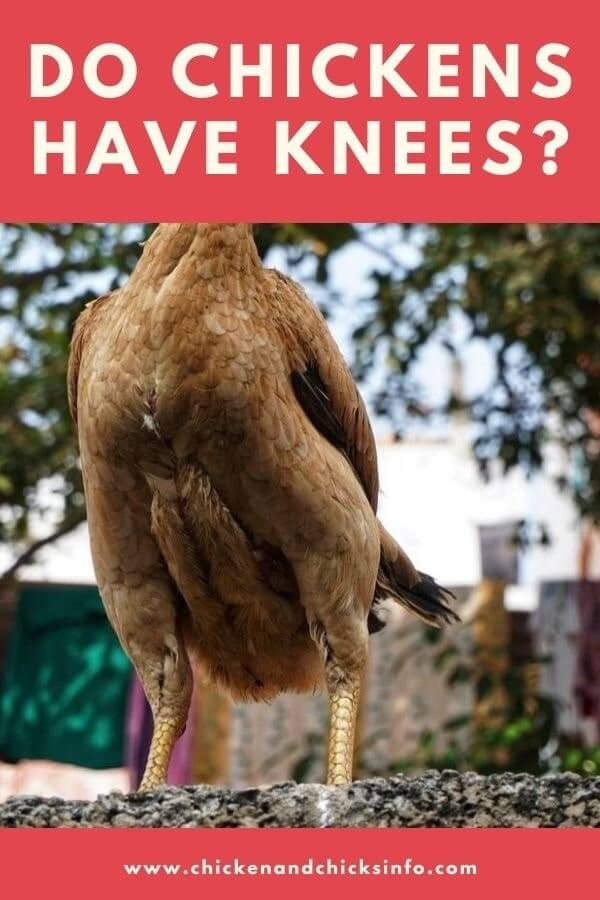 Do Chickens Have Knees