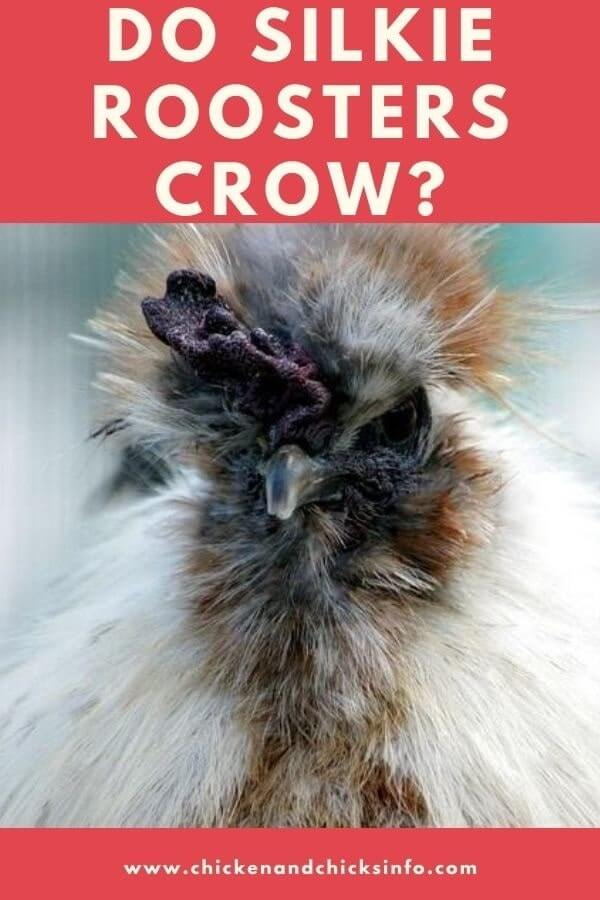 Do Silkie Roosters Crow