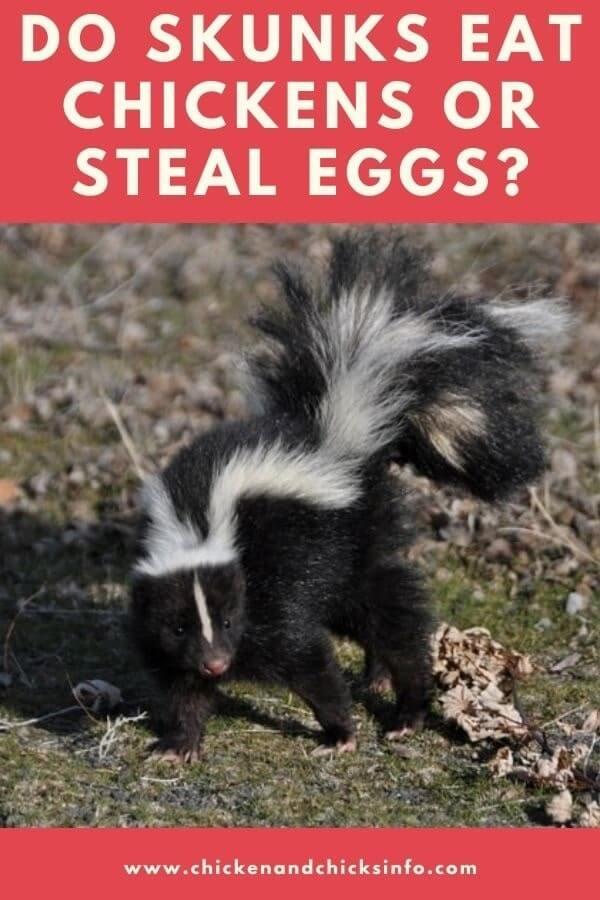 Do Skunks Eat Chickens