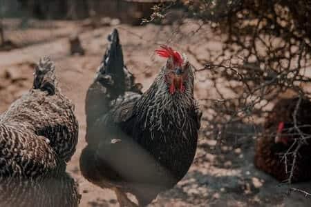Does poop taste bad to chickens