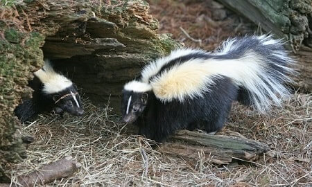 How Do You Keep Skunks Away From Chickens