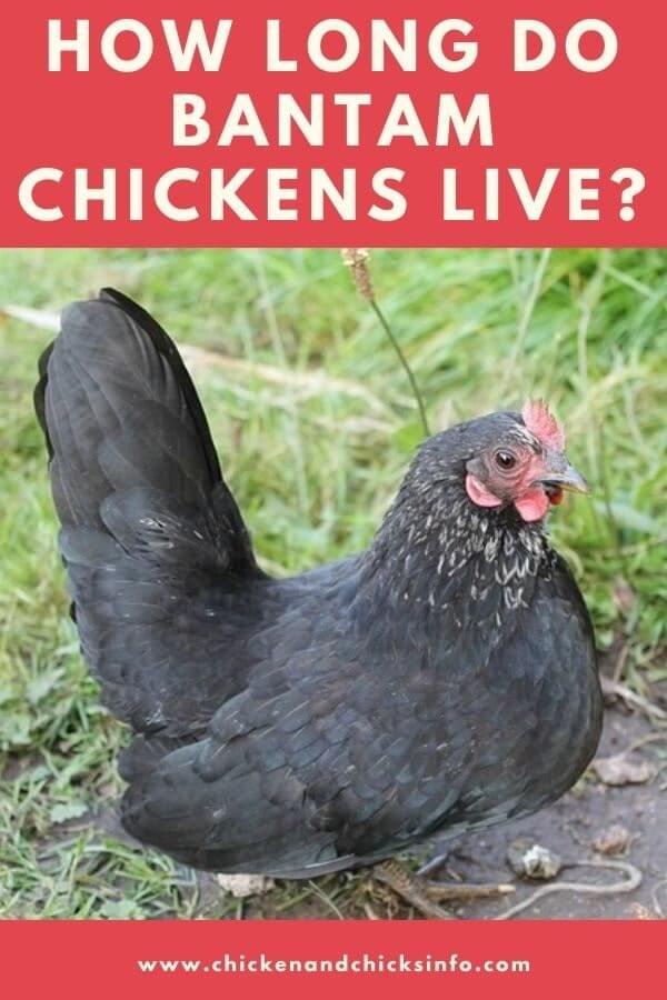 How Long Do Bantam Chickens Live For