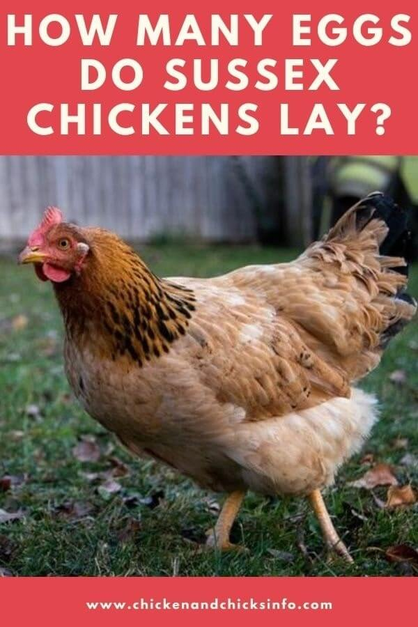 How Many Eggs Do Sussex Chickens Lay