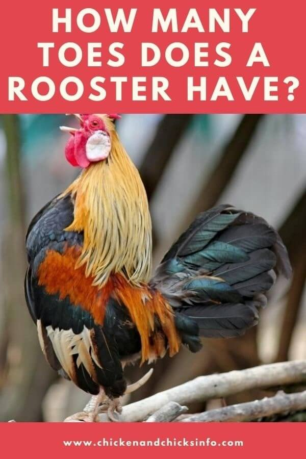 How Many Toes Does a Rooster Have