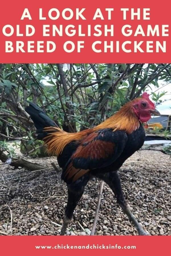 Old English Game Fowl Chicken
