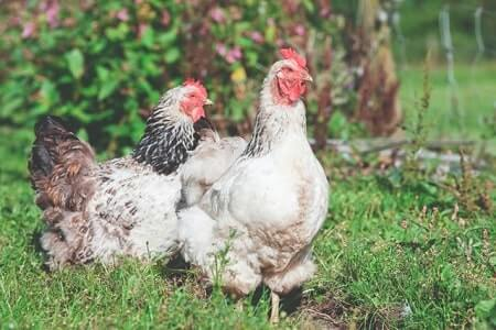 Plant toxins and water belly in chickens