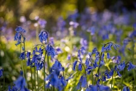 What are bluebells can chickens eat them