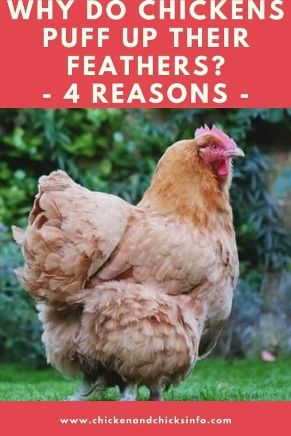 Why Do Chickens Puff up Their Feathers