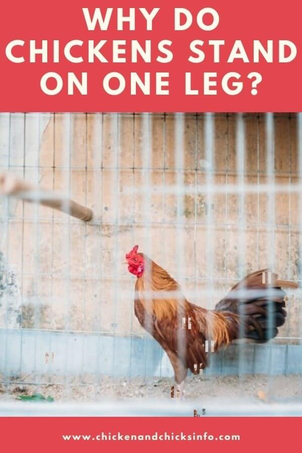 Why Do Chickens Stand on One Leg
