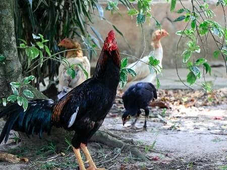 Why Do Roosters Have Spurs