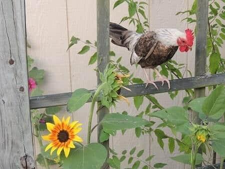 Why Raise Bantam Chickens