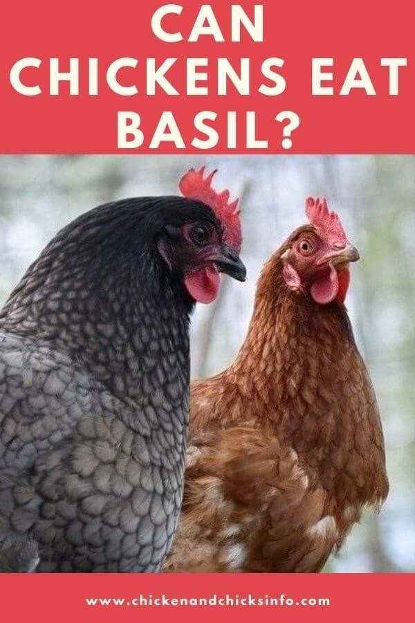 Can Chickens Eat Basil