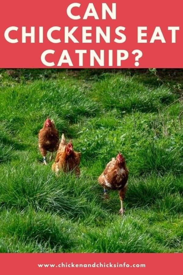 Can Chickens Eat Catnip