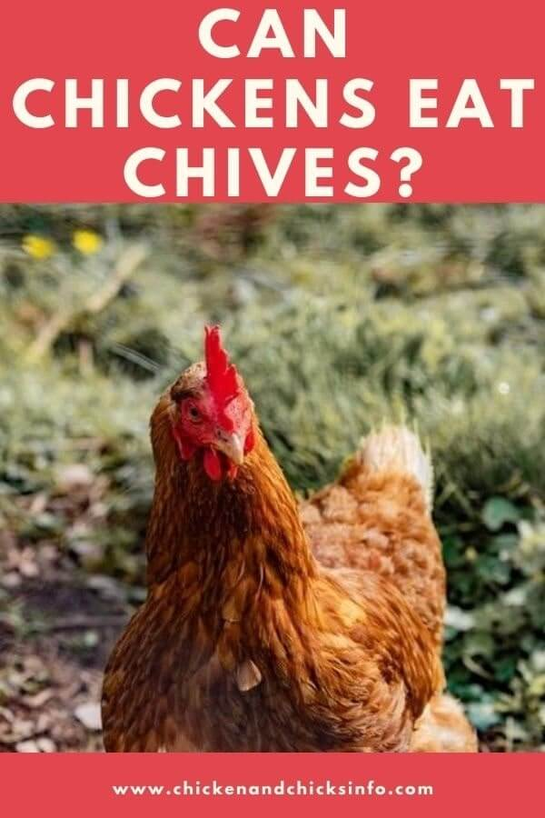 Can Chickens Eat Chives