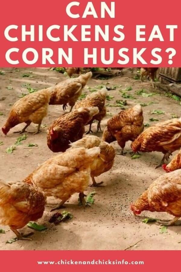 Can Chickens Eat Corn Husks