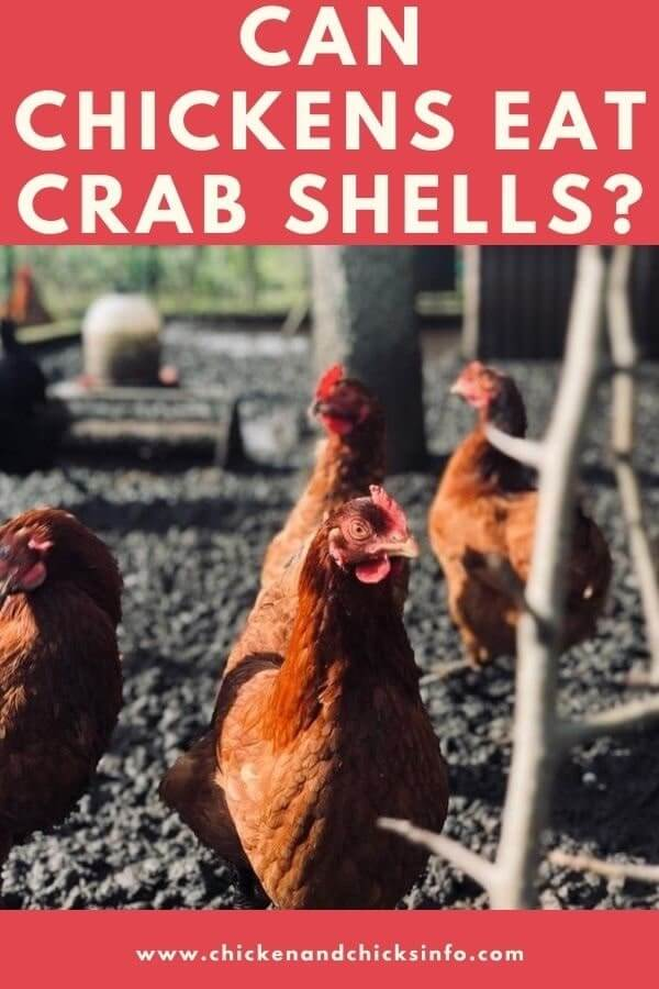 Can Chickens Eat Crab Shells