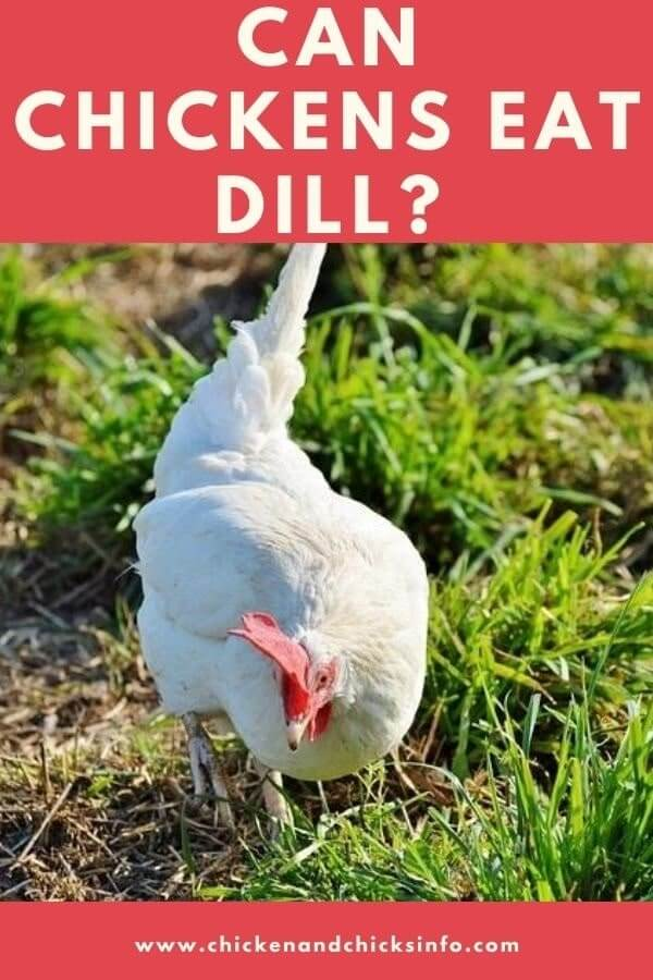 Can Chickens Eat Dill