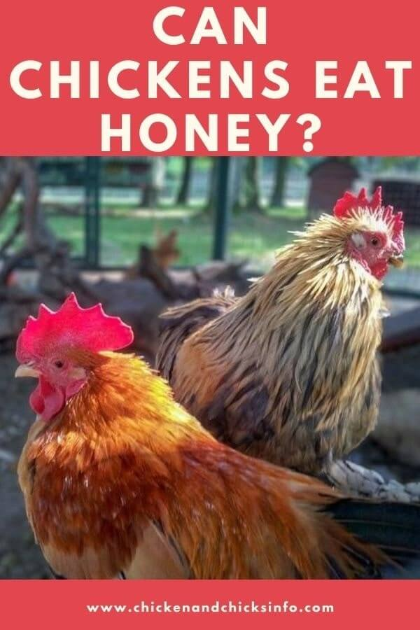 Can Chickens Eat Honey
