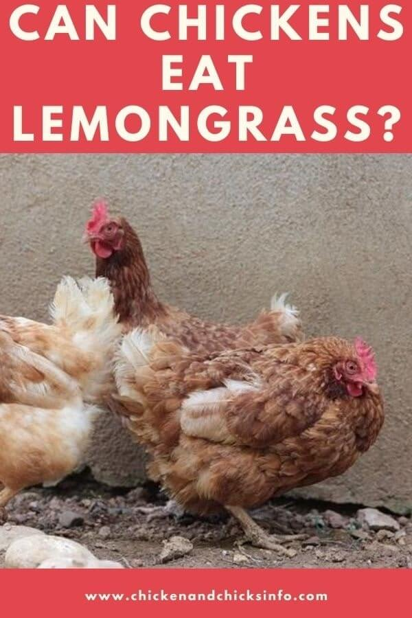 Can Chickens Eat Lemongrass