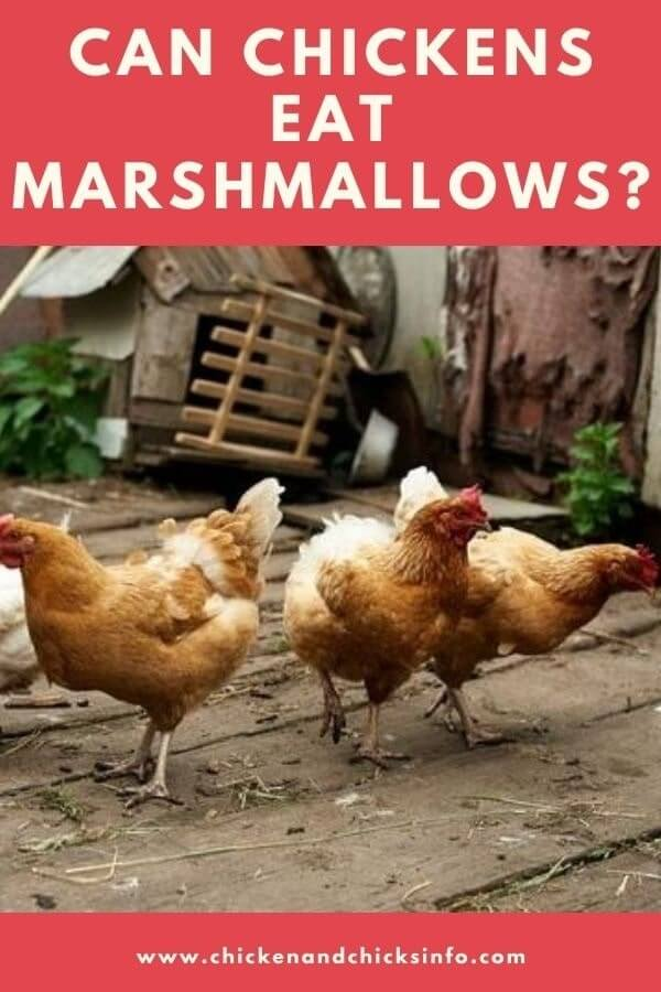 Can Chickens Eat Marshmallows