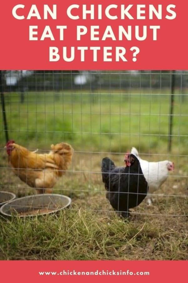 Can Chickens Eat Peanut Butter