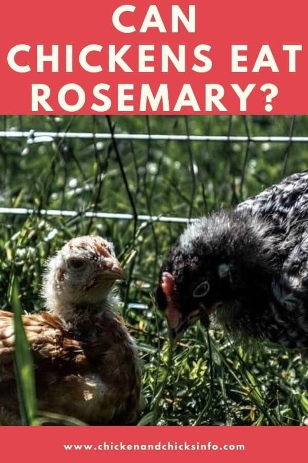 Can Chickens Eat Rosemary