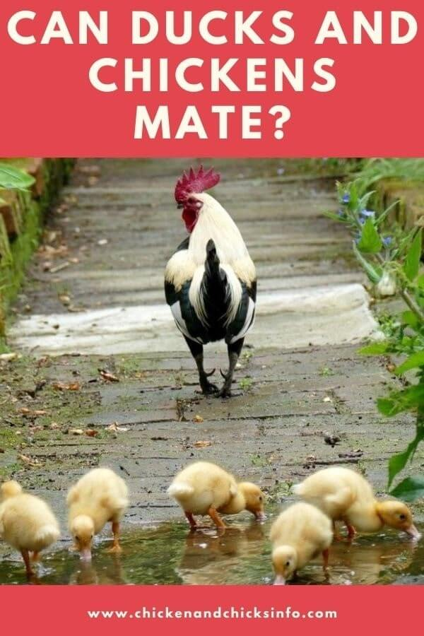 Can Ducks and Chickens Mate