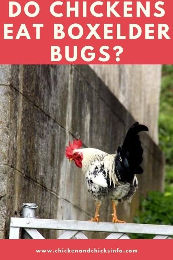 Do Chickens Eat Boxelder Bugs