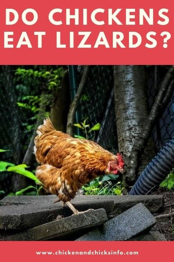 Do Chickens Eat Lizards