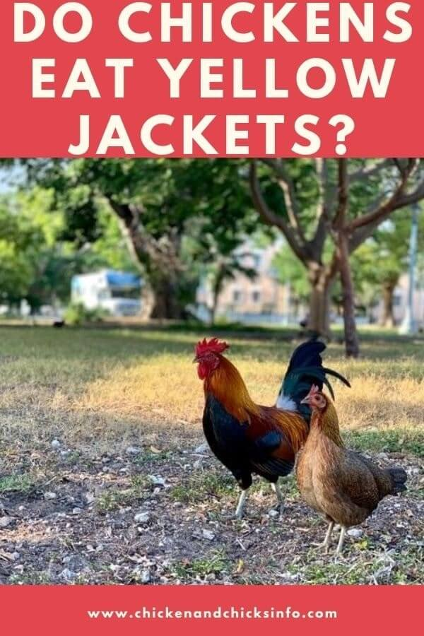 Do Chickens Eat Yellow Jackets