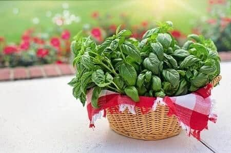 Health Benefits of Basil for Chickens