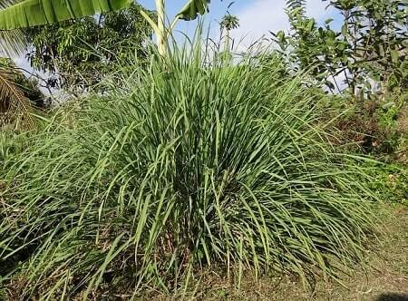 Health Benefits of Lemongrass for Chickens